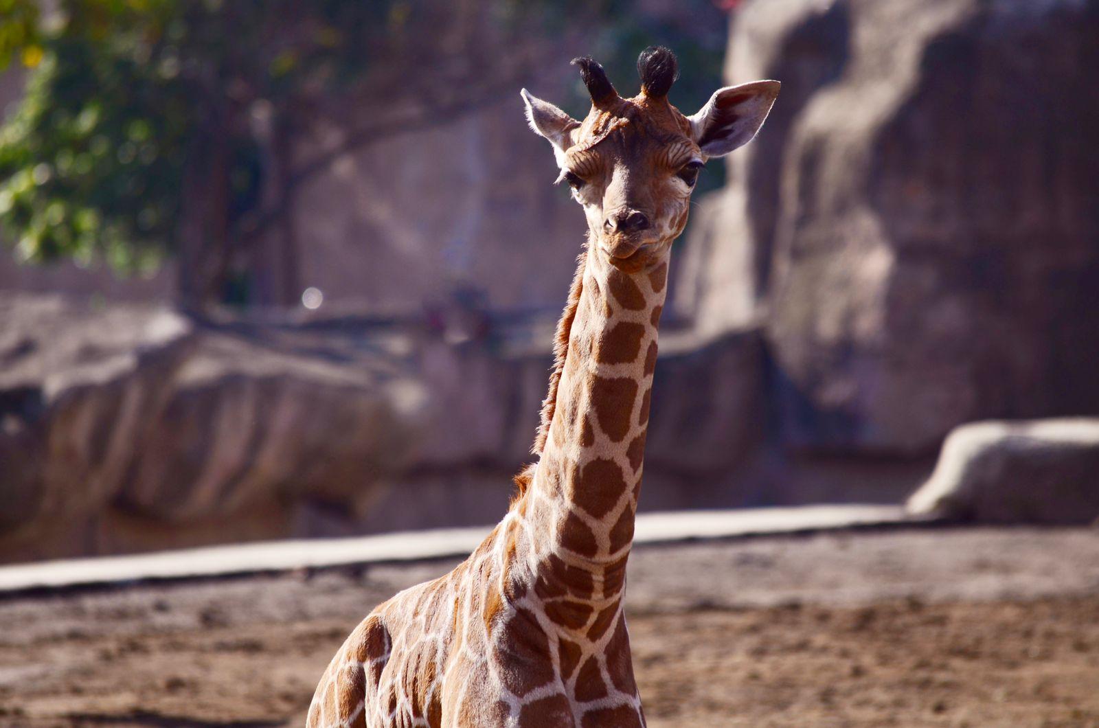 Nace jirafa en zoológico de San Juan de Aragón